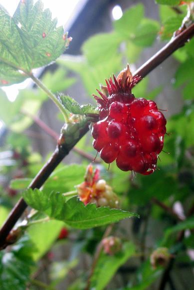 Salmonberry4