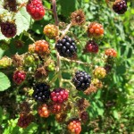 Space Invaders – A Word on Himalayan Blackberries