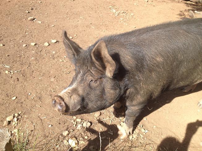 Disco Thistle Hog