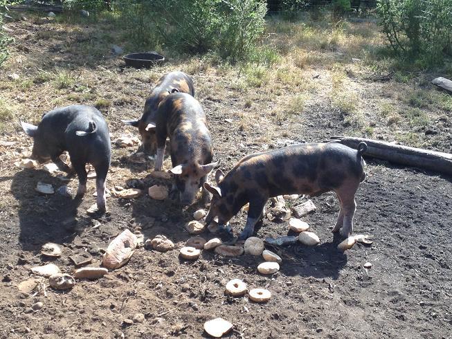 Disco Thistle Pigs